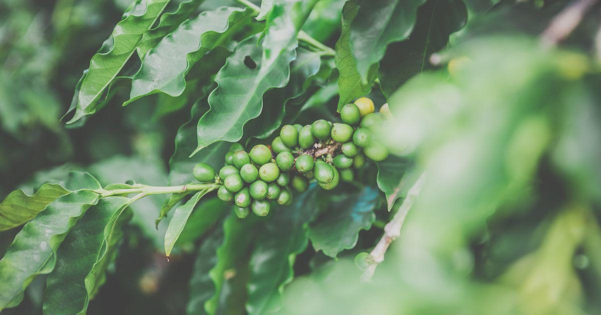 erfahrungen mit green coffee kapselne